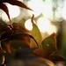japanese maple (sunday morning)