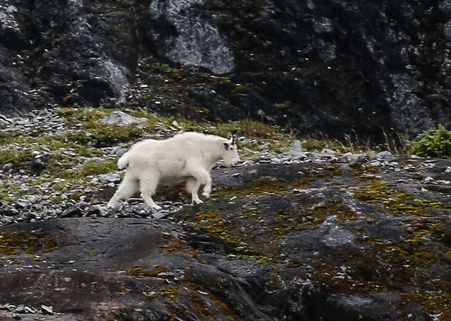 Mountain goat-9668