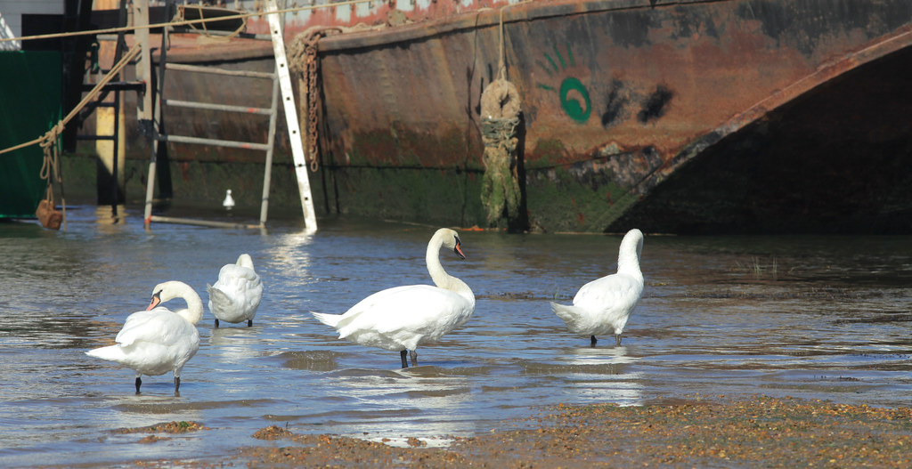 Swans @ Pin Mill Suffolk (river Orwell)