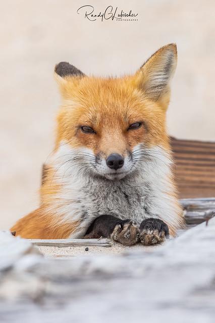 Red Fox | Vulpes Vulpes | 2021 - 67