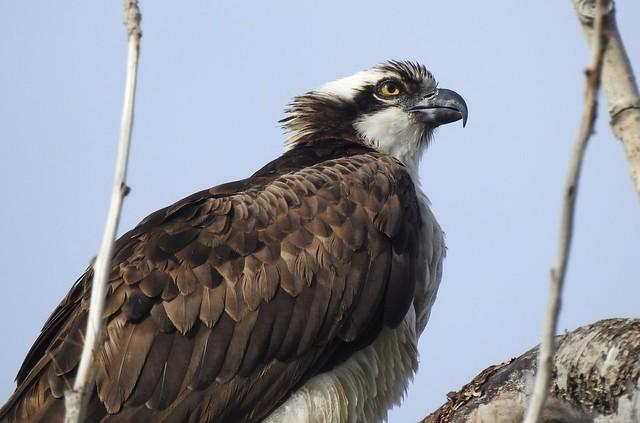 Osprey, Toronto