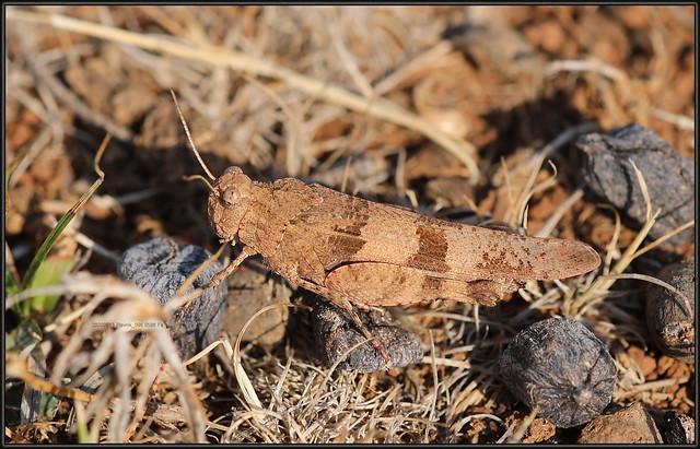 Oedipoda caerulescens, Blue-winged Grasshopper, 8596 Fa, 13.VIII.2021. Otok Plavnik 20200813 Plavnik_082