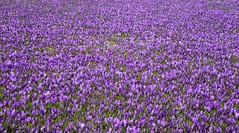 Krokusblüte im Schlossgarten in Husum; Nordfriesland (39)