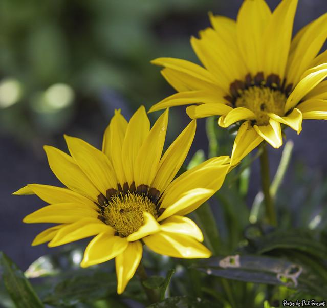 Gazania Rigens Yellow