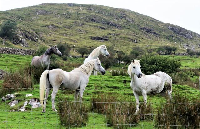 Connemara ponies near Leenane