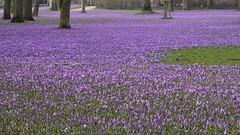 Krokusblüte im Schlossgarten in Husum; Nordfriesland (33)