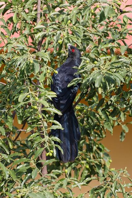 Asian Koel (Male), Eudynamys Scolopacea, Linnaeus, Nalla Kovela (నల్ల కోవెల), Koel (कोयल), Crow family.