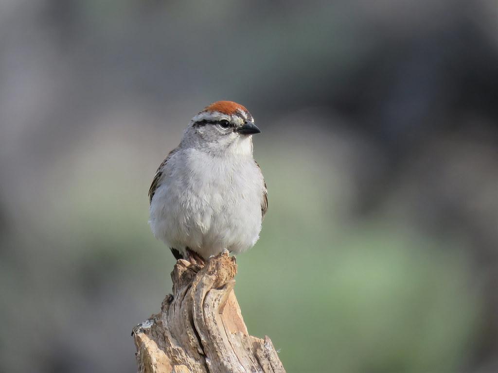 Chipping Sparrow-SharpenAI-softness