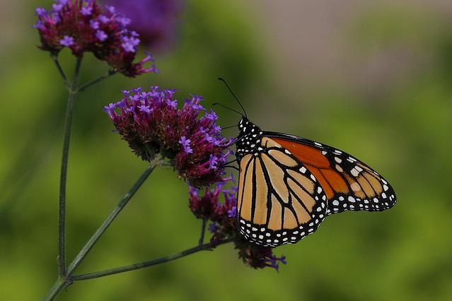 Monarch on a purple flower