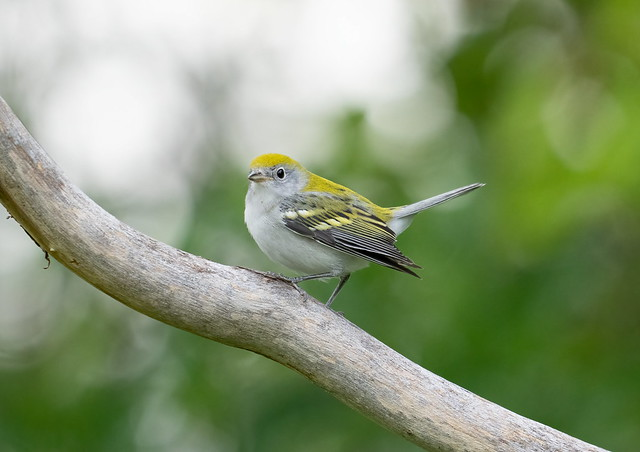 Chestnut-sided Warbler fall colour