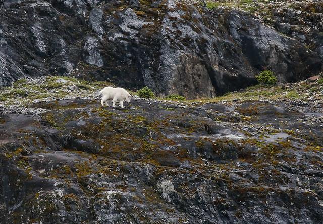 Mountain goat-9672