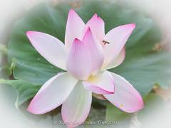 Pink Lotus Flower in Nagaike-Joyo City, Kyoto Prefecture.