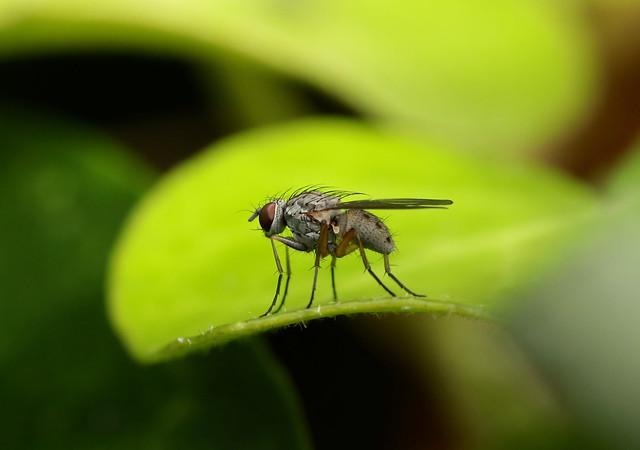 Root-maggot Fly --- Pegomya sp