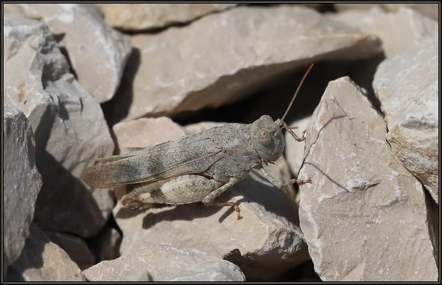 Oedipoda germanica ssp. Meridionalis, Balkan Band-winged Grasshopper, 8595 Fa, 20210909 LokvaOsor_28