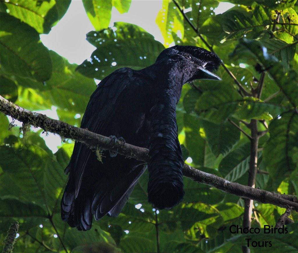 Long-wattled Umbrella Bird