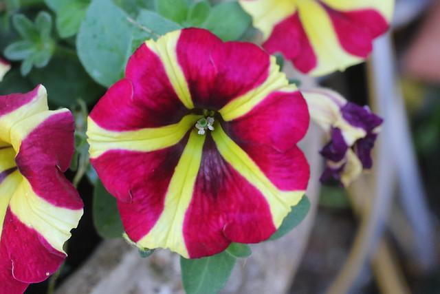 Petunia in our Garden, UK.