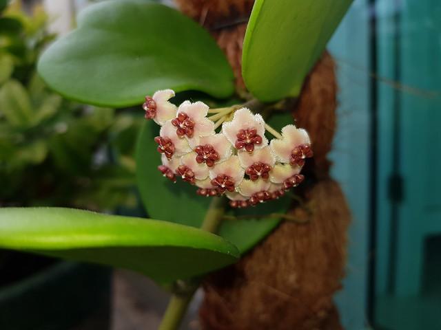 Hoya kerrii Craib Asclepiadaceae (Apocynaceae)-sweetheart plant, luck heart, หัวใจทศกัณฐ์ 12