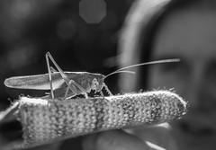 pasikonik // grasshopper
