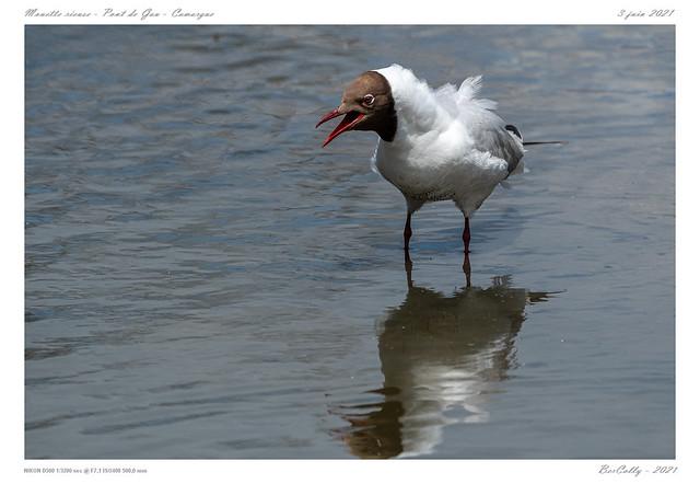 Mouette rieuse   Black-headed Gull