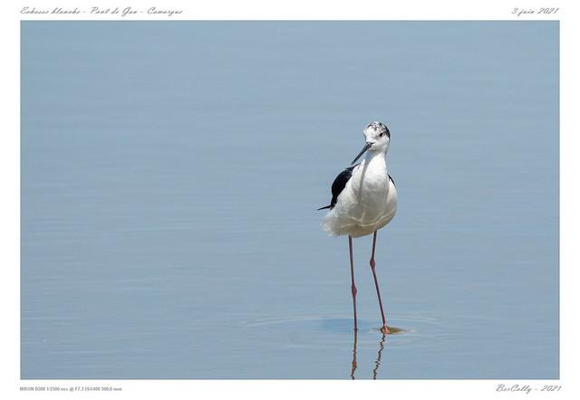 Echasse blanche   Black-winged Stilt