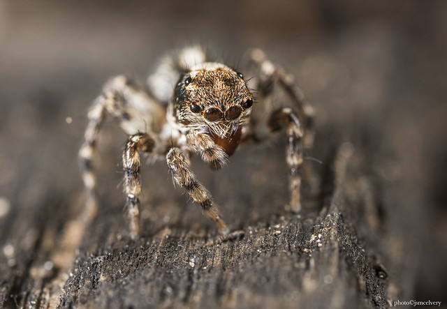 mce_9605to9610jumpingspider1jsm