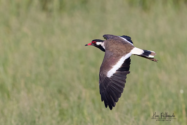 A Red Wattled Lapwing in Flight