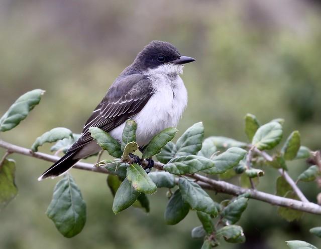 Eastern Kingbird, Monterey Bay Marine Lab, Moss Landing, California 09-16-21