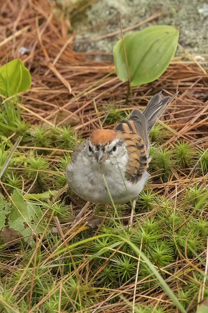 Chipping Sparrow (Spizella passerina) 3 090921