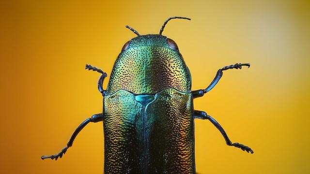 Jewellery beetle
