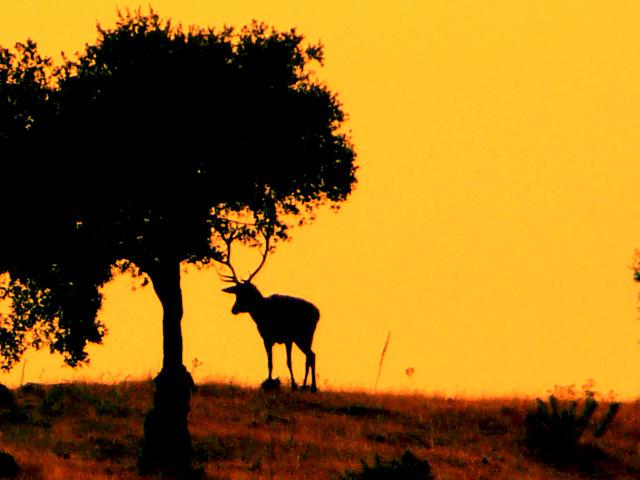 Ciervo al atardecer (Berrea en España)