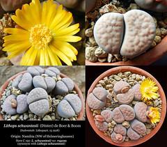 Lithops schwantesii var. rugosa C 192 (collage)