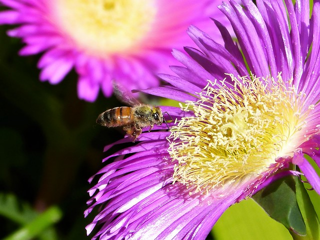 Where there is pollen, there is a Bee :)