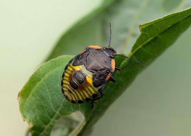 Shield bug nymph back view