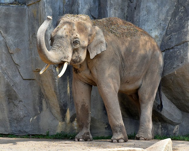 Male Asian elephant Beco, 12 years old