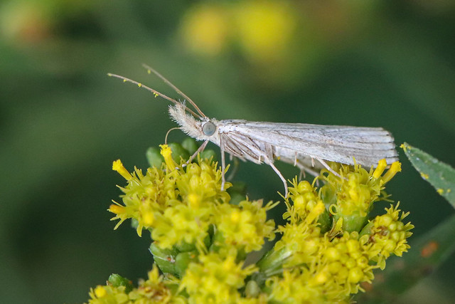 Some Sort Of Grass Moth