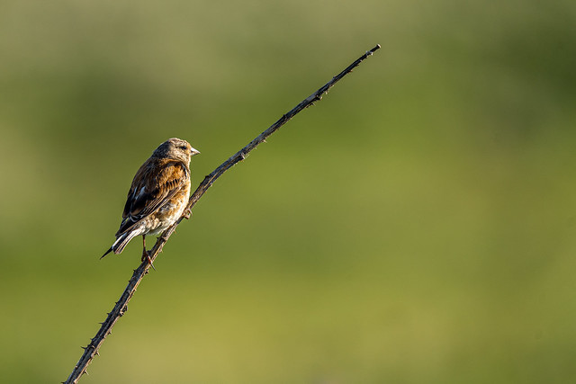 Young Linnet