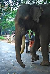 Elephant at Guruvayur