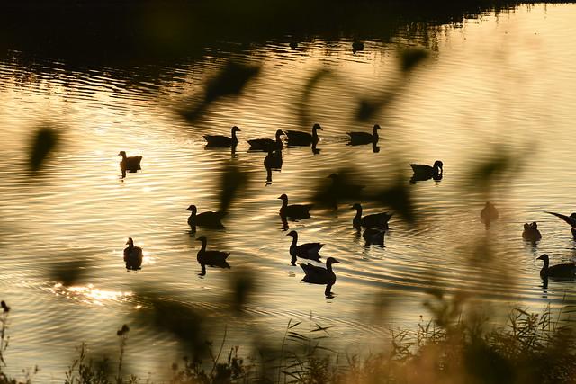 Dappled ducks
