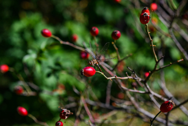 Autumn still life with a dragonfly resting on the branches of a rose hip with red berries