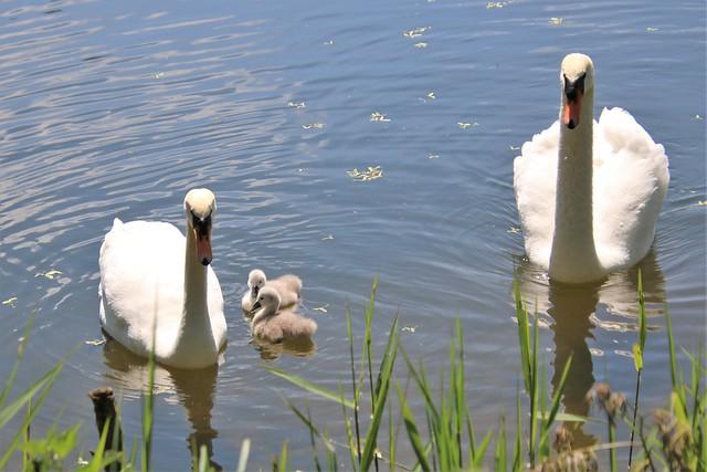 Swan family, Harrold Country Park 20210530
