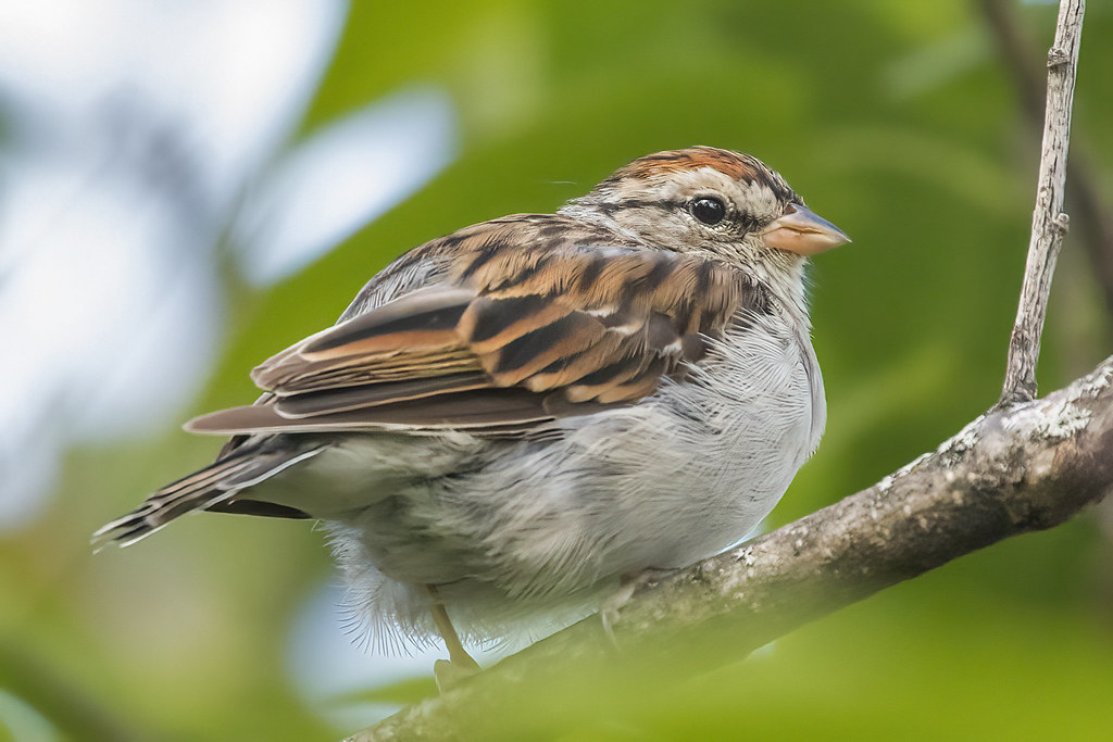 Chipping Sparrow (Spizella passerina) 1 091021
