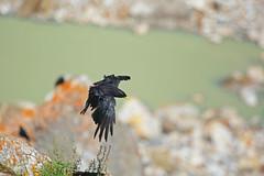 Urdukas: Flying black shadow