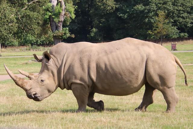 Rhino, Woburn Safari Park 20210915