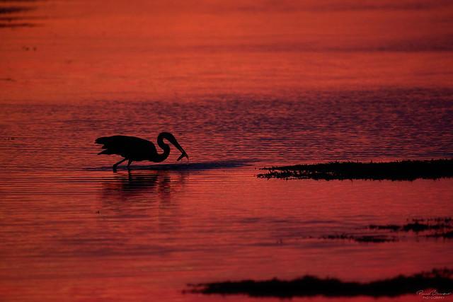 Great Blue Heron - Grand héron
