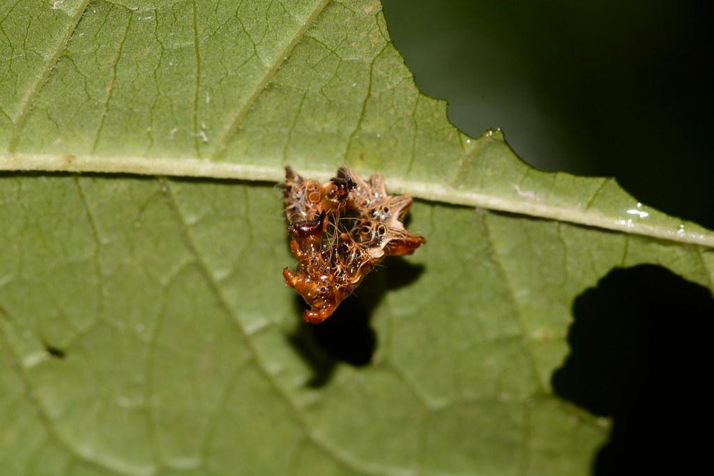 Harris' three spot (Harrisimemna trisignata) - Not sure of plant