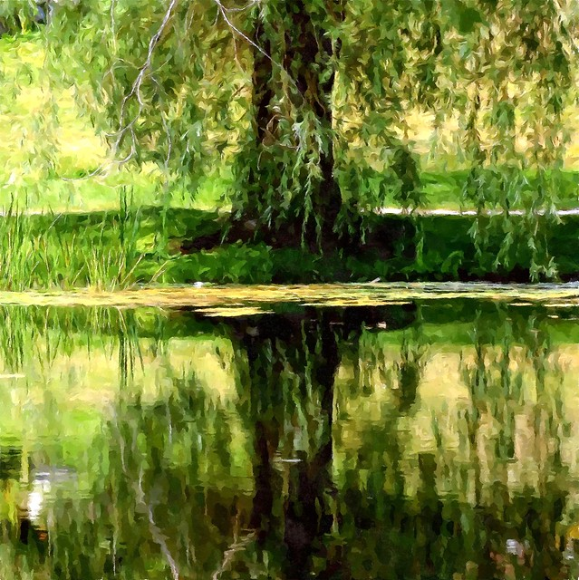 a willow weeps