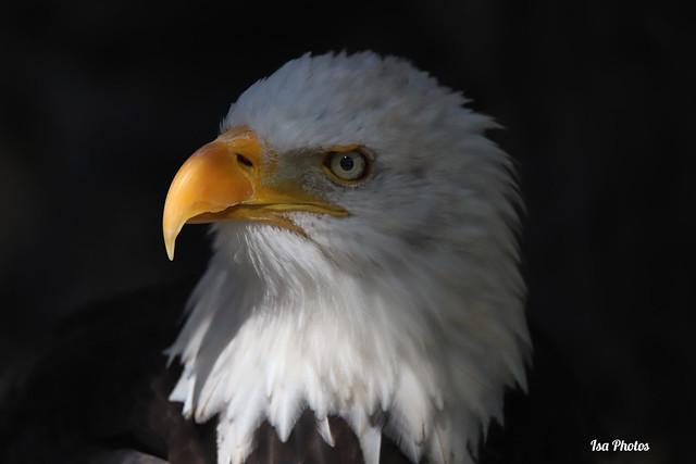 Bald eagle. Pyguargue à tête blanche