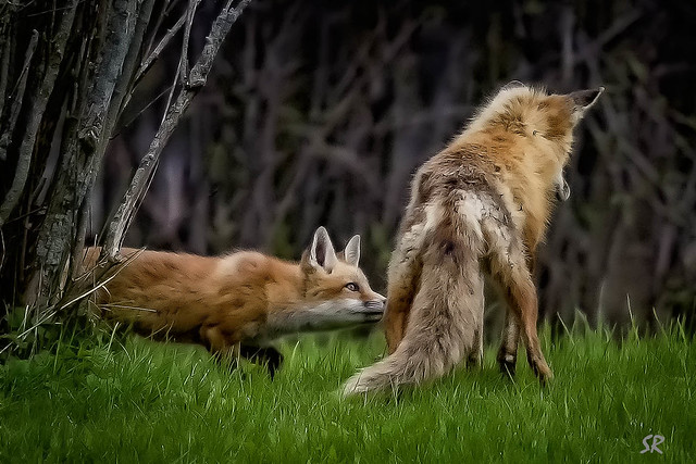 Mother Fox holds a snake for her pup.