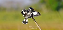 Pied Kingfisher ಕಪ್ಪುಬಿಳಿ ಮಿಂಚುಳ್ಳಿ