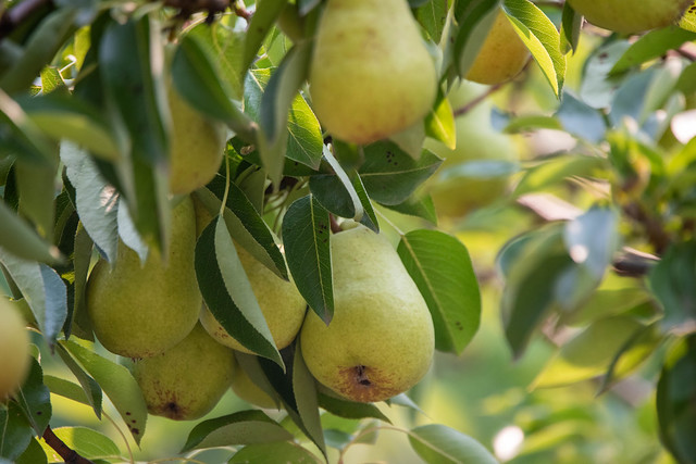 Pears.. mmm they were good!